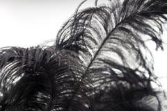 Plan rapproché de plume noire d'isolement Photo stock