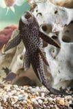 Plan rapproché de poisson-chat d'aquarium Image libre de droits
