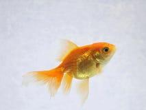 Plan rapproché de poisson rouge Photo stock