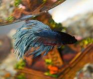 Plan rapproché de poissons bleu-foncé dans l'aquarium Image libre de droits