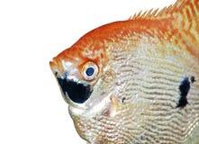 Plan rapproché de poissons d'ange d'isolement sur le blanc Photos libres de droits
