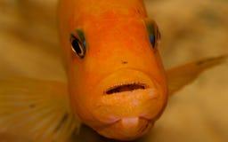 Plan rapproché de poissons d'aquarium Dans la bouche est un rat et un caviar Photos stock