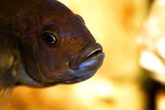 Plan rapproché de poissons d'aquarium Dans la bouche est un rat et un caviar Image stock