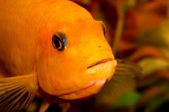 Plan rapproché de poissons d'aquarium Dans la bouche est un rat et un caviar Images libres de droits