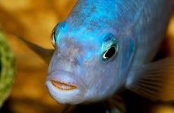 Plan rapproché de poissons d'aquarium Dans la bouche est un rat et un caviar Image libre de droits