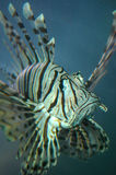 Plan rapproché de poissons de la Turquie Image stock