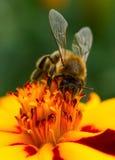 Plan rapproché de pollination de fleur de souci d'abeille image libre de droits