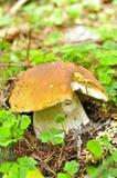 Plan rapproché de porcini de champignon de couche Photos stock
