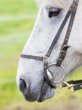 Plan rapproché de portrait de cheval Photos libres de droits