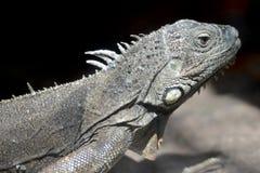 Plan rapproché de portrait de lézard d'Iguane Image stock