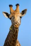 Plan rapproché de portrait de tête de girafe contre une mastication de ciel bleu Image stock
