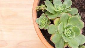 Plan rapproché de pot avec l'usine succulente d'Echeveria, de la famille de Crassulaceae Surface en bois de couleur claire avec l photographie stock libre de droits