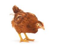 Plan rapproché de poule de Brown photo libre de droits