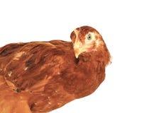 Plan rapproché de poule de Brown images stock