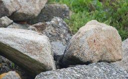 Plan rapproché de prés de pipit d'oiseau en journée sur un profil de roche sur les milieux gris et verts images libres de droits