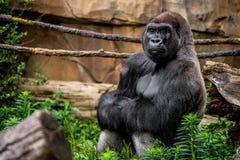 Plan rapproché de primat de gorille dans l'habitat naturel photos libres de droits