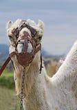 Plan rapproché de principal et des épaules de chameaux Photos stock