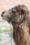 Plan rapproché de principal et des épaules de chameaux Photo stock