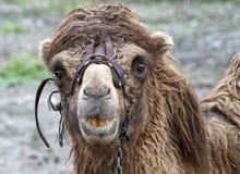 Plan rapproché de principal et des épaules de chameaux Images stock