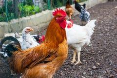 Plan rapproché de profil de poulet de Brown avec les poulets blancs sur le fond image stock