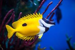 Plan rapproché de Rabbitfish d'Onespot Foxface dans un aquarium d'eau de mer Photo stock
