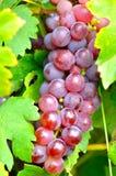 Plan rapproché de raisin rouge Photographie stock libre de droits