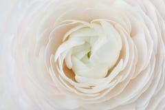 Plan rapproché de ranunculus de pêche pour le fond abstrait, belle fleur de ressort, épousant le modèle floral, macro