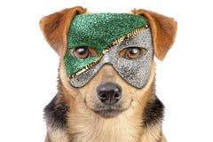 Plan rapproché de regard de portrait masqué par chien de masque petit d'isolement photos stock