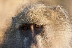 Plan rapproché de regarder de babouin Photographie stock libre de droits