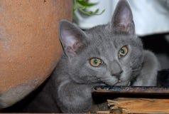 Plan rapproché de repos de tête de chat Image libre de droits