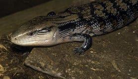 Plan rapproché de reptile de salamandre se déplaçant le long de la terre rocheuse Photos libres de droits