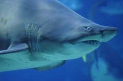 Plan rapproché de requin Photo libre de droits