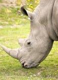 Plan rapproché de rhinocéros Photo stock