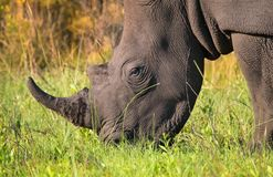 Plan rapproché de rhinocéros blanc masculin simple dans le buisson sud-africain Image stock