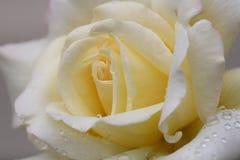 Plan rapproché de Rose avec des gouttelettes Photo stock