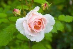 Plan rapproché de Rose Bud Image stock