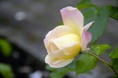 Plan rapproché de Rose Bud Image libre de droits