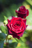 Plan rapproché de rose d'écarlate sur le fond vert Images libres de droits