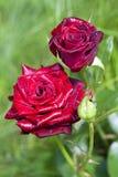 Plan rapproché de rose d'écarlate sur le fond vert Photographie stock libre de droits