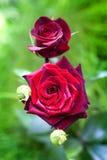Plan rapproché de rose d'écarlate sur le fond vert Photo stock