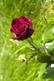 Plan rapproché de rose d'écarlate sur le fond vert de jardin Photos libres de droits