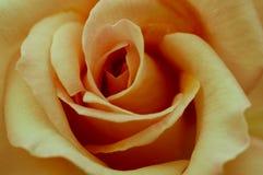 Plan rapproché de Rose d'une rose jaune Image stock