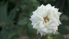 Plan rapproché de rose de blanc Photographie stock