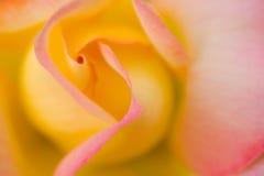 Plan rapproché de Rose de paix photographie stock