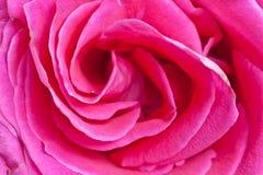 Plan rapproché de rose de rose Images libres de droits
