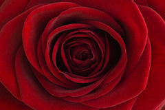 Plan rapproché de rose de rouge Images libres de droits