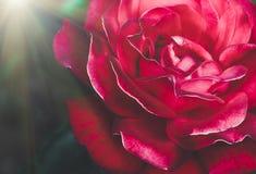 Plan rapproché de rose de rouge, fond de fête Photos libres de droits