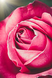 Plan rapproché de rose de rouge, fond de fête Image libre de droits