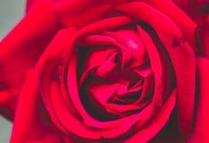 Plan rapproché de rose de rouge, fond de fête Images stock