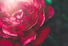 Plan rapproché de rose de rouge, fond de fête Images libres de droits